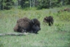 Free range bison, Riding Mountain National Park